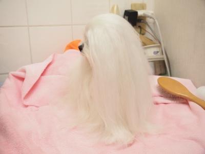 ピンクちゃんの長~い前髪…_b0001465_15212648.jpg