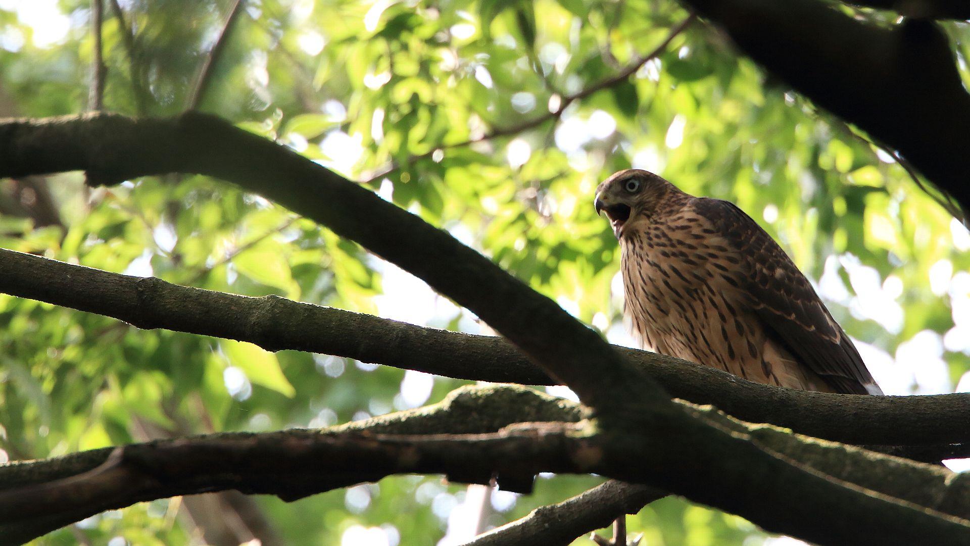 オオタカ幼鳥の咆哮!_f0105570_2148129.jpg