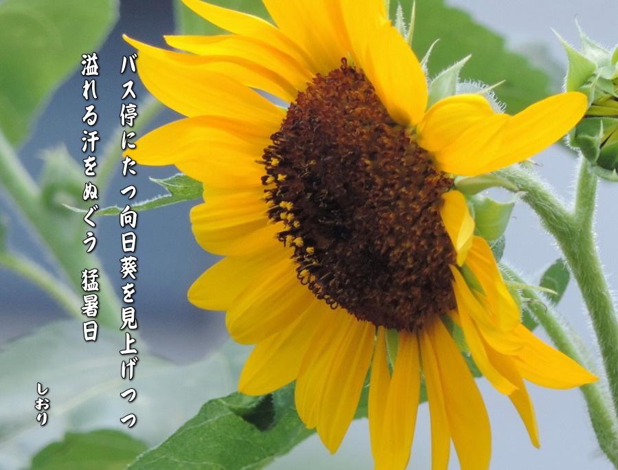向日葵_c0187781_23242062.jpg