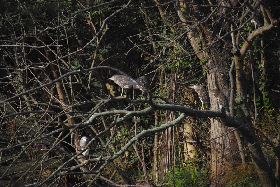 SIGMA sd Quattro でゴイサギとカワセミを撮る(水元公園特集②)_c0223825_00125621.jpg