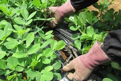 ラッカセイ栽培におけるマルチの除去作業 / 展示の修理_a0123836_15140998.jpg