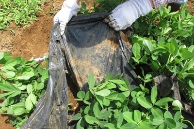 ラッカセイ栽培におけるマルチの除去作業 / 展示の修理_a0123836_15142000.jpg