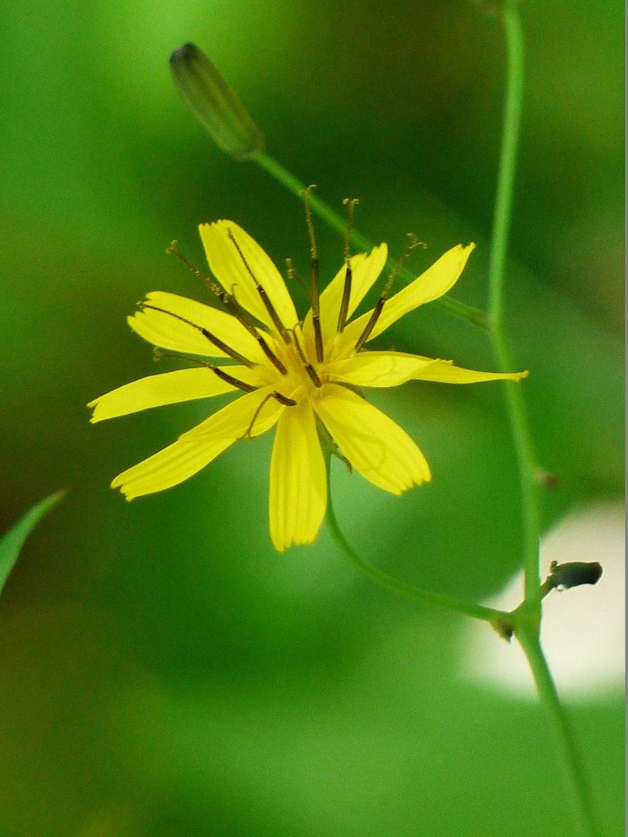 燧ケ岳の高山植物_a0351368_09355549.jpg