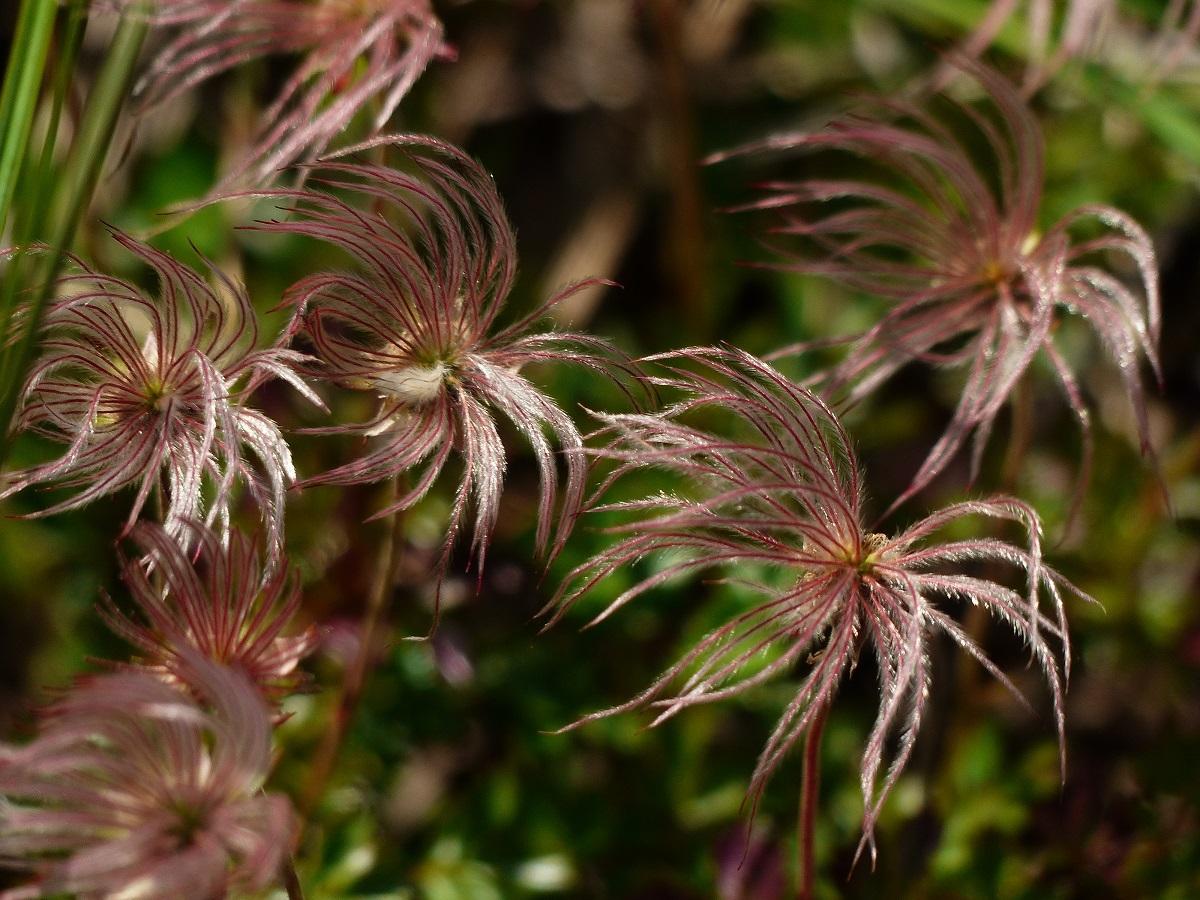 燧ケ岳の高山植物_a0351368_09365761.jpg