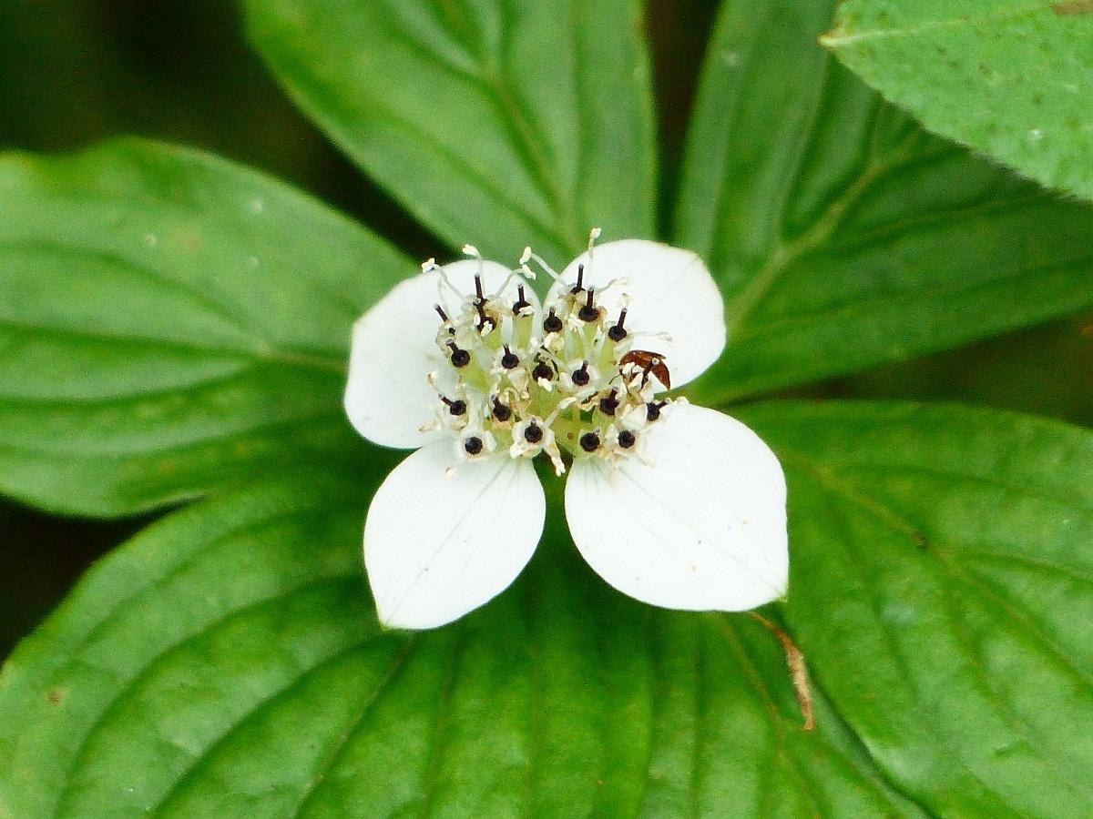 燧ケ岳の高山植物_a0351368_09371890.jpg
