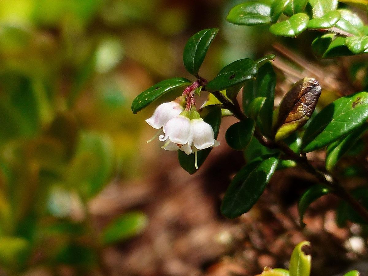 燧ケ岳の高山植物_a0351368_09383485.jpg