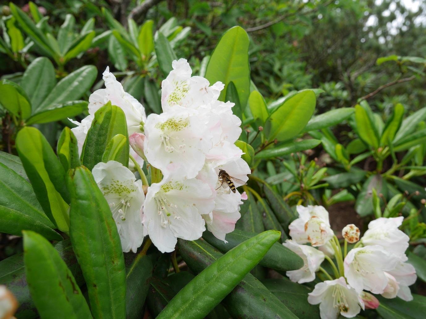 燧ケ岳の高山植物_a0351368_09392542.jpg