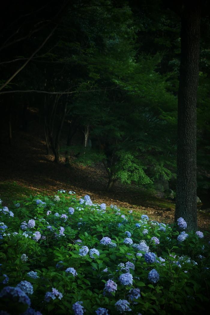 紫陽花 2016 山田池公園 _f0021869_22455036.jpg