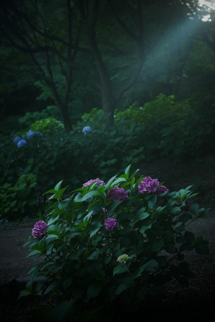 紫陽花 2016 山田池公園 _f0021869_22462130.jpg