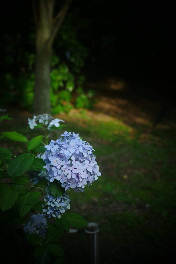 紫陽花 2016 山田池公園 _f0021869_2246445.jpg