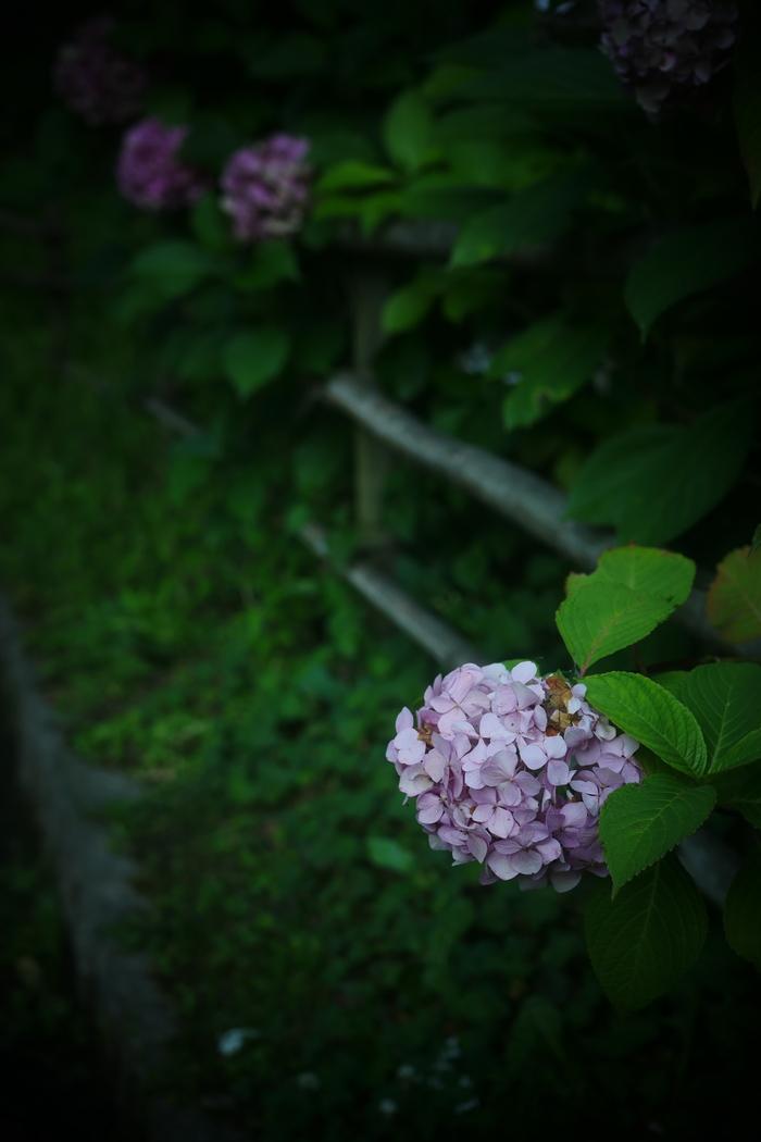 紫陽花 2016 山田池公園 _f0021869_2247127.jpg