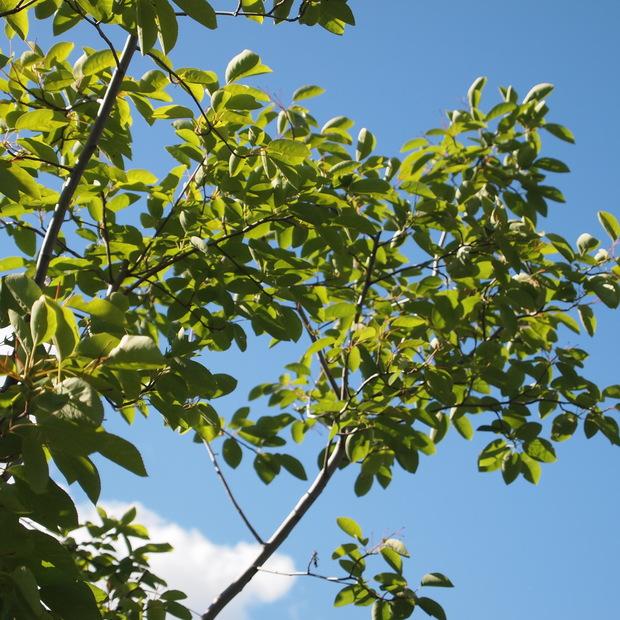 ジューンベリーは鳥たちのエサに_a0292194_2125494.jpg