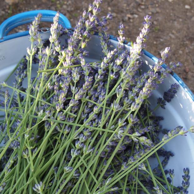 ラベンダーオカムラサキの収穫_a0292194_21485022.jpg