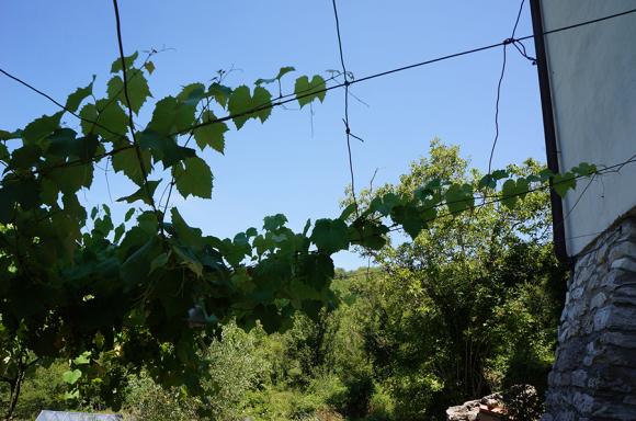 キッチン前の葡萄の木_f0106597_16405273.jpg
