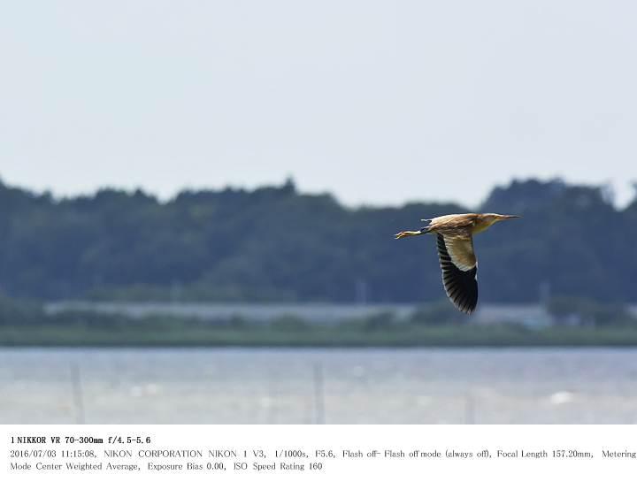 印旛沼北部調整池 2016.7.3(2)_c0062451_1826271.jpg