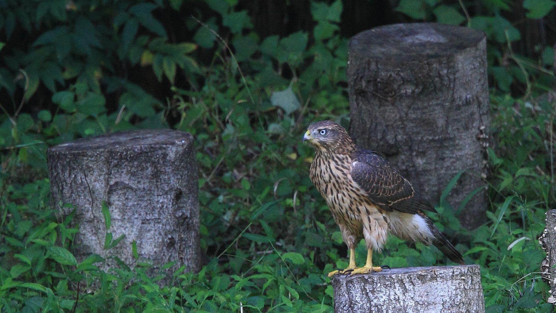 昨年今頃のオオタカ幼鳥_f0105570_22313489.jpg