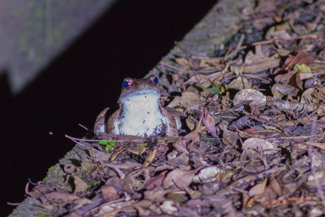 リュウキュウアカショウビン、リュウキュウコノハズク、リュウキュウオオコノハズクのナイトツァー  (沖縄旅行その6)_a0052080_20115665.jpg