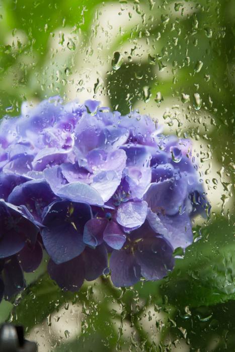 我が家の隙間ガーデンの紫陽花_b0098139_16263450.jpg