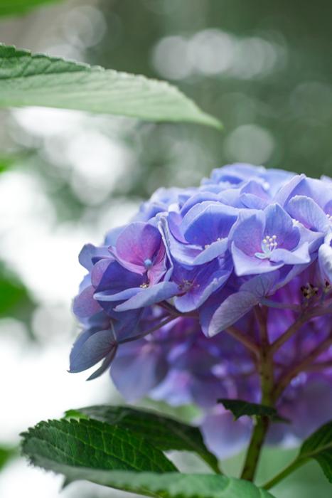 我が家の隙間ガーデンの紫陽花_b0098139_16270328.jpg