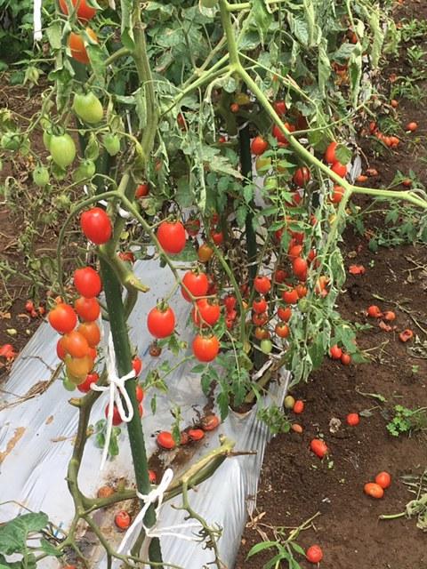 一昨日 昨日の豪雨で・・多くのトマトが割れましたが なんのその・・ハーブを雑草から救出_c0222448_14304537.jpg
