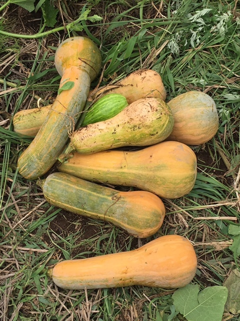 一昨日 昨日の豪雨で・・多くのトマトが割れましたが なんのその・・ハーブを雑草から救出_c0222448_14314236.jpg
