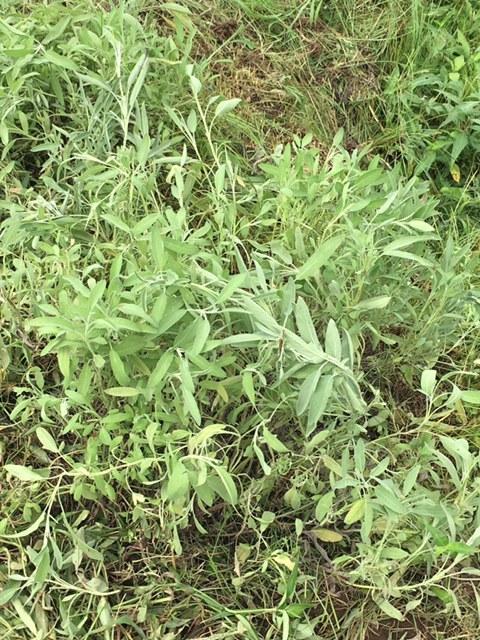 一昨日 昨日の豪雨で・・多くのトマトが割れましたが なんのその・・ハーブを雑草から救出_c0222448_14315665.jpg