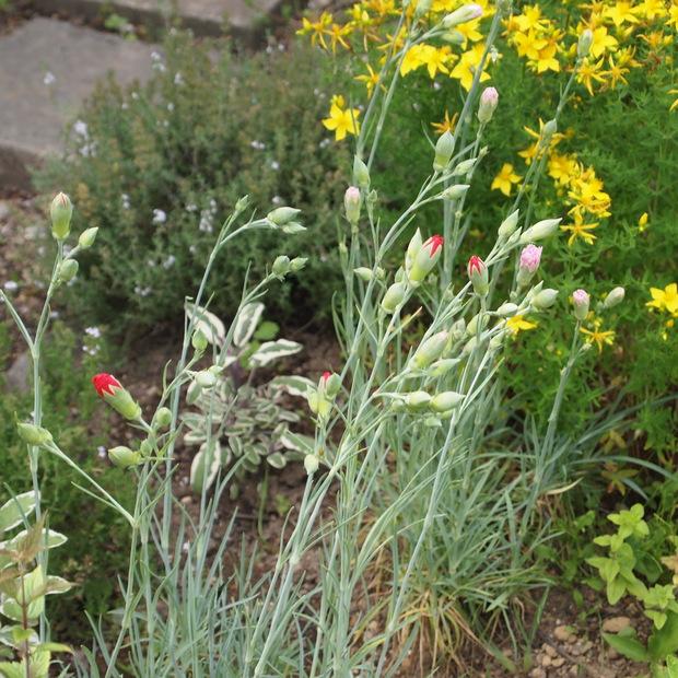 多年草のハーブ、成長もそれぞれ_a0292194_16374333.jpg