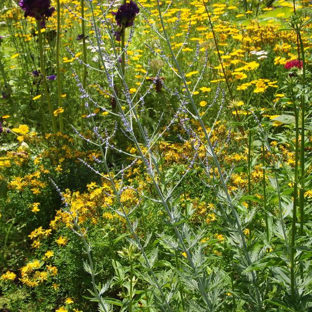 多年草のハーブ、成長もそれぞれ_a0292194_1640379.jpg