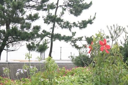 モミジアオイが咲き始めました_d0227610_09094160.jpg