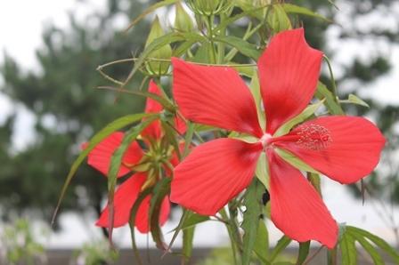 モミジアオイが咲き始めました_d0227610_09104076.jpg