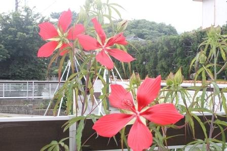 モミジアオイが咲き始めました_d0227610_09111334.jpg