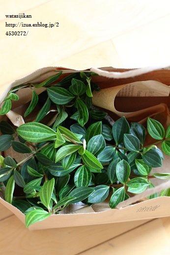 観葉植物、ぺぺロミアを置く_e0214646_1511173.jpg
