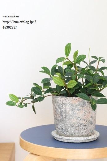 観葉植物、ぺぺロミアを置く_e0214646_1525433.jpg
