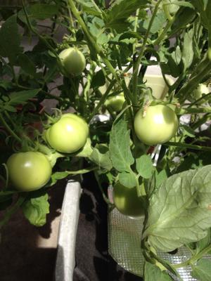 トマトの凛々子さん ③_e0012580_00105441.jpg