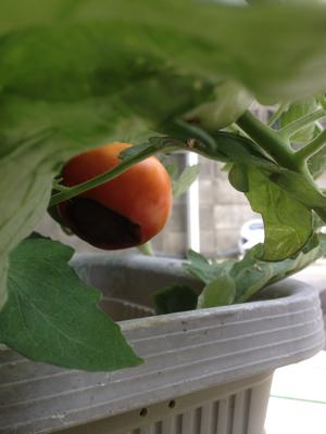 トマトの凛々子さん ③_e0012580_00105457.jpg