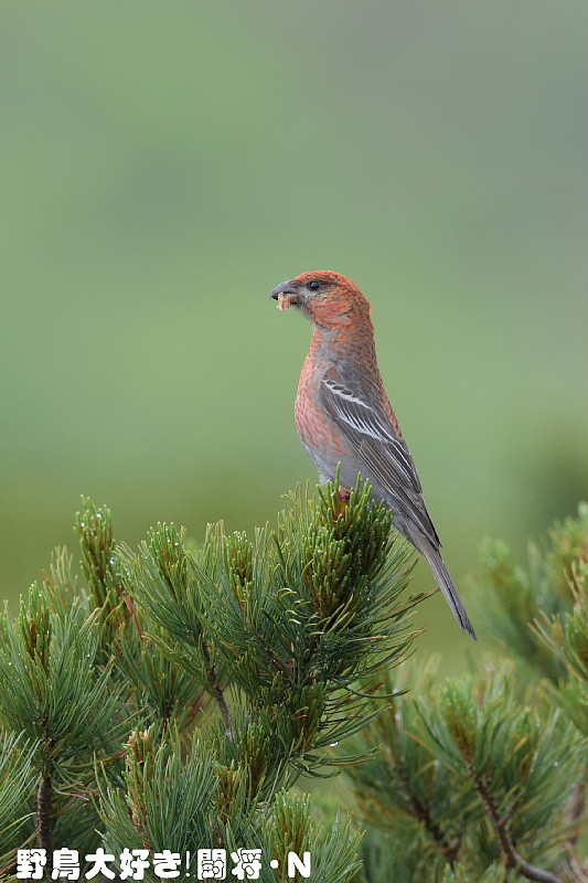 ギンザンマシコ : 野鳥大好き!...