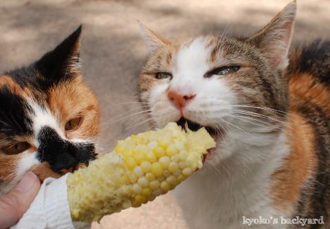 コーンを頬張る猫たち_b0253205_05005478.jpg
