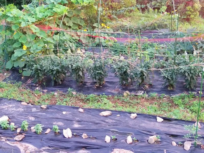 「秋野菜」の準備。_a0125419_06243002.jpg