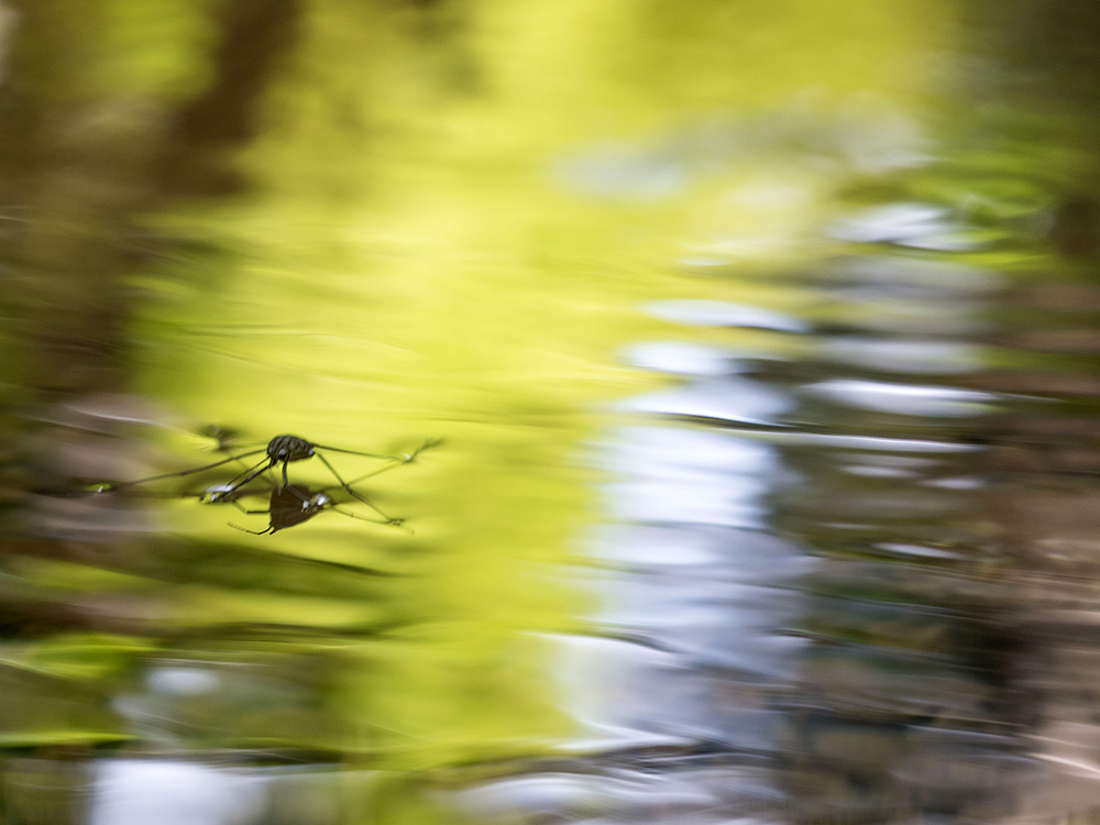 同じ田んぼでの観察 モートンイトトンボ産卵・コオイムシ・シマアメンボ_f0324026_18141519.jpg