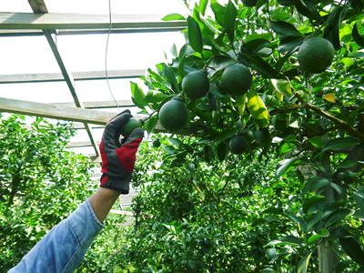 デコポン(肥後ポン) 摘果作業とひも吊り作業 今年も至高のデコポンを育てます その2_a0254656_1756053.jpg