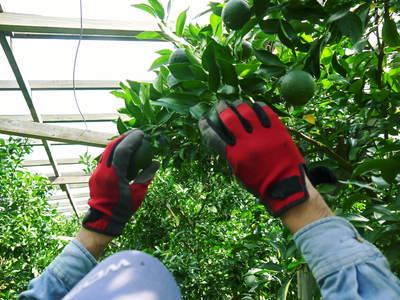 デコポン(肥後ポン) 摘果作業とひも吊り作業 今年も至高のデコポンを育てます その2_a0254656_17584975.jpg