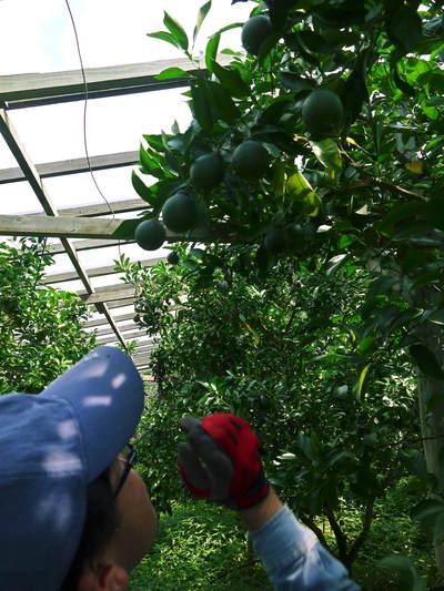 デコポン(肥後ポン) 摘果作業とひも吊り作業 今年も至高のデコポンを育てます その2_a0254656_18273696.jpg