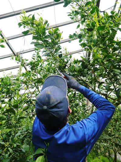 デコポン(肥後ポン) 摘果作業とひも吊り作業 今年も至高のデコポンを育てます その2_a0254656_1838129.jpg