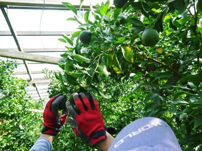 デコポン(肥後ポン) 摘果作業とひも吊り作業 今年も至高のデコポンを育てます その2_a0254656_18454547.jpg