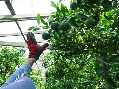 デコポン(肥後ポン) 摘果作業とひも吊り作業 今年も至高のデコポンを育てます その2_a0254656_18522155.jpg