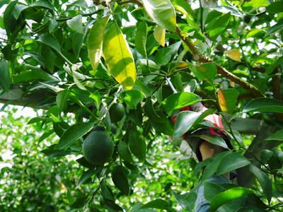デコポン(肥後ポン) 摘果作業とひも吊り作業 今年も至高のデコポンを育てます その2_a0254656_18552023.jpg