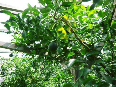 デコポン(肥後ポン) 摘果作業とひも吊り作業 今年も至高のデコポンを育てます その2_a0254656_1857148.jpg