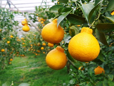 デコポン(肥後ポン) 摘果作業とひも吊り作業 今年も至高のデコポンを育てます その2_a0254656_19103159.jpg