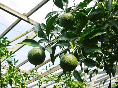 デコポン(肥後ポン) 摘果作業とひも吊り作業 今年も至高のデコポンを育てます その2_a0254656_1913641.jpg