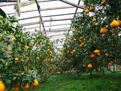 デコポン(肥後ポン) 摘果作業とひも吊り作業 今年も至高のデコポンを育てます その2_a0254656_1961522.jpg
